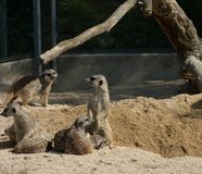 Verscheidene meerkats in de dierentuin, die op zand zitten stock foto's