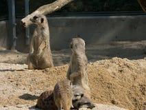 Verscheidene meerkats in de dierentuin, die op zand zitten royalty-vrije stock fotografie