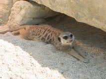Verscheidene meerkats in de dierentuin, die op zand zitten stock fotografie
