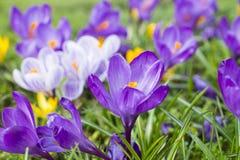 Verscheidene multicoloured krokusbloemen Royalty-vrije Stock Afbeeldingen