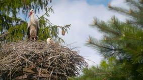 Verscheidene ooievaars die in een nest zitten stock video