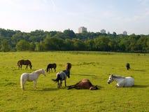 Verscheidene Paarden op Gebied in de Britse Ochtend van de Zomer Stock Fotografie
