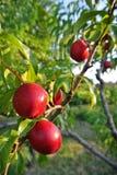 Verscheidene rijpe rode nectarines op de boom in een boomgaard op een zonnige middag Royalty-vrije Stock Fotografie