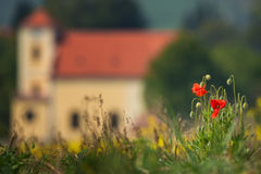 Verscheidene rode papavers op groen gras, schot op een zonnige dag, met een ondiepe diepte van nadruk, tegen de achtergrond van e Stock Afbeelding
