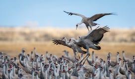 Verscheidene Sandhill-Kranen die in een troep tijdens de jaarlijkse migratie in Colorado landen Stock Foto's
