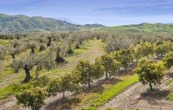 De bomen van de sinaasappel en van olijven Stock Foto