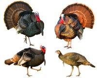 Verscheidene Turkije dat toms strutting Royalty-vrije Stock Foto's