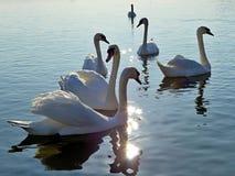 Verscheidene witte zwanen die op de Donau zonnebaden Stock Foto