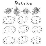 Verscheidenheden van Aardappels en Nightshade-Bladeren Voedselillustratie Verse Landbouwbedrijfingrediënten Realistische hand get vector illustratie