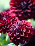 Verscheidenheid van blacky asteraceaeinstallatie van chrysantenfidalgo stock foto