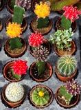 Verscheidenheid van cactus Stock Foto's