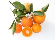Verscheidenheid van citrusvruchten Stock Fotografie