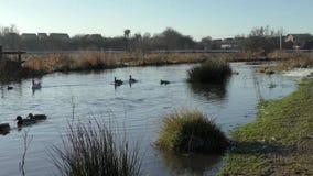 Verscheidenheid van Eenden en een Gans die voorbij op een sneeuwmoerasland, Doxey-Moerassen zwemmen stock videobeelden
