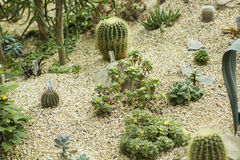 Verscheidenheid van kleine mooie cactus in de pot Woestijn in miniatuur Stock Foto