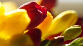 Verscheidenheid van kleurrijke fresia's, macroschot Royalty-vrije Stock Fotografie