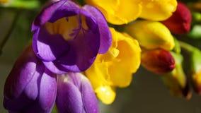 Verscheidenheid van kleurrijke fresia's, macroschot Stock Fotografie