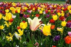 Verscheidenheid van kleurrijke tulpen op een gebied Stock Foto