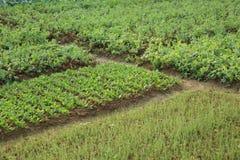 Verscheidenheids plantaardige installaties in de groei Stock Foto