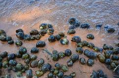 Verscheidenheidsgrootte van zoetwater gouden applesnails op het zand stock afbeelding