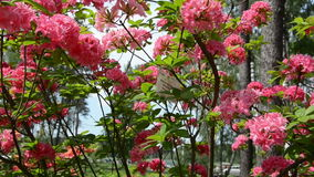 Verschieben nahe rosa Rhododendronblumen-Betriebsblüte stock footage