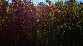 Verschiebenkamera eines Maisfeldes im September stock video footage