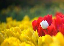 Verschiedenartigkeit in den Tulpen Lizenzfreie Stockfotografie