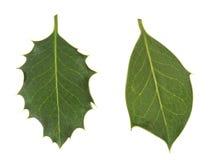 Verschiedenartigkeit in der Natur Stechpalmenblätter, stachelig und glatt lizenzfreies stockfoto