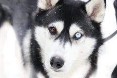 Verschiedenartigkeit, Unterschiedidee, Hund mit verschiedenen Augenfarben, verwischte Foto für Hintergrund stockfoto