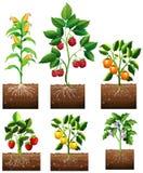 Verschiedene Arten der Anlage im Garten vektor abbildung