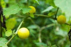 Verschiedene Arten der Aubergine, Aubergine, Aubergine Lizenzfreies Stockbild