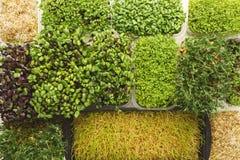Verschiedene Arten des Mikros grünt Draufsicht Lizenzfreie Stockfotografie