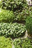 Verschiedene Arten von Mikrogrüns Stockfotografie