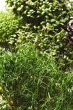 Verschiedene Arten von Mikrogrüns Lizenzfreie Stockfotos