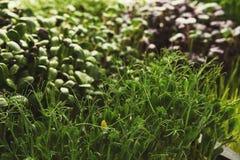 Verschiedene Arten von Mikrogrüns Stockbilder