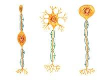 Verschiedene Arten von Neuronen: Zweipoliges Neuron, mehrpoliges Neuron, Einpolneuron stock abbildung