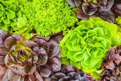 Verschiedene Ernten des frischen Kopfsalates Stockbild