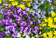 Verschiedene Farben des Gartenblumen-Stiefmütterchens Lizenzfreie Stockfotos