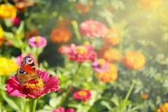 Verschiedene Farben des Sommers Schmetterling sitzt auf der Blume Lizenzfreies Stockbild