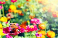 Verschiedene Farben des Sommers Schmetterling sitzt auf der Blume Lizenzfreie Stockfotografie
