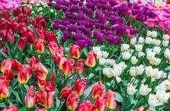 Verschiedene Farben und Formen von Tulpen in den Niederlanden Lizenzfreie Stockfotos