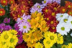 Verschiedene Farben von Mamablumen lizenzfreie stockfotos