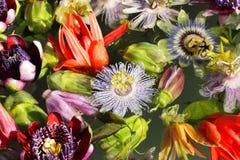 Verschiedene farbige Passionflowers Stockfoto