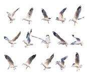 15 verschiedene Fliegenseemöwenaktionen Lizenzfreies Stockfoto