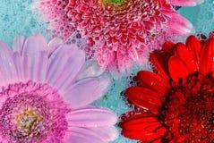 Verschiedene Gänseblümchen auf blauen Luftblasen lizenzfreie stockbilder