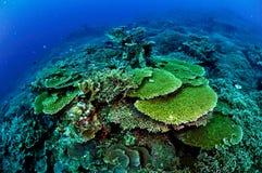Verschiedene harte Korallenriffe in Banda, Indonesien-Unterwasserfoto Lizenzfreies Stockfoto