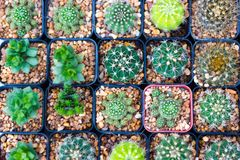 Verschiedene Kaktuspflanzen/Gruppe des kleinen Kaktus im Topf Lizenzfreie Stockbilder