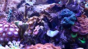 Verschiedene Korallen im Aquariumbehälter stock video footage