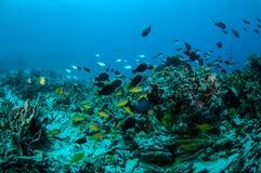 Verschiedene korallenrote Fische in Gili, Lombok, Nusa Tenggara Barat, Indonesien-Unterwasserfoto Lizenzfreie Stockfotografie
