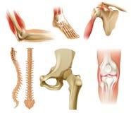 Verschiedene menschliche Knochen Stockbild