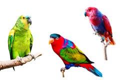 Verschiedene Papageien lokalisiert auf weißem Hintergrund Stockfotos
